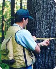 Forester measuring the diameter of a tree